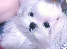سلام عليكم محتاج كلب زينه نفس البصوره العنده لا يقصر يراسلني خاص مع السعر وشكرا