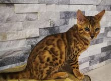 Bengal kittens 3 months old