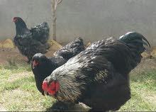 بيض دجاج براهما نوع بلو نقاوة درجه اولى تم تنزيل السعر