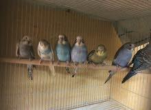 فروخ بادجي طيور الحب