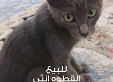 قطوه / نوع سكوتش