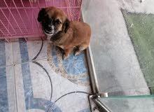 كلب لولو فوكس