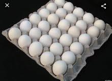 بيض مخصب للفقاسات