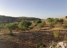مزرعه ساحره  لوزيات وزيتون 3 دونمات ونصف للبيع في اجمل مواقع جرش