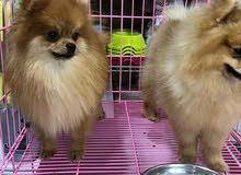كلاب مستورده من تايلند في عمان