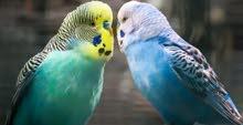 طيور الحب زوج استرالي معى القفص و كيلو اكل مجاناً ( توصيل مجاناً )