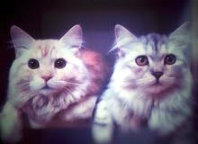 Two beautiful cat for sale