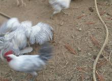 دجاج  فيومي المنيوم صافي