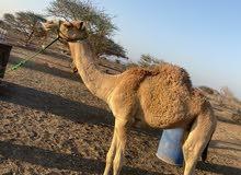 للبيع قعود عماني عمرة 10شهور