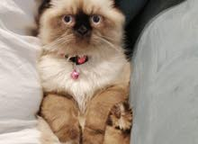 قطة همالايا للبيع