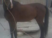 حصان للبيع