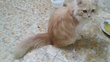 قطط شرازي نضفات