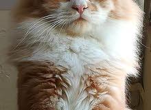 قطط مكس هامالايا شيرازي بسعر مغري
