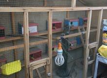 قفص للبيع ويا 10بيوت مال طيور حب جاهز بس جيب طيور بي رايده 50