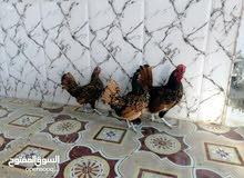 مطلوب بيض ملاقح مال اكعاده بيض عرب خشن او بيض ابو اركيبه