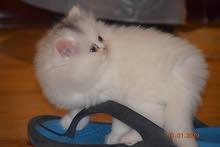 قط ولد شيرازي 45 يوم
