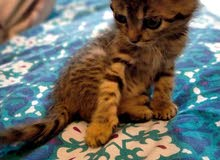 bangal kitten available 6 weeks old female