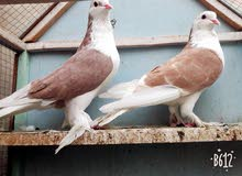 مجموعة طيور زينه للبيع أو للمراوسه حسب الرغبه