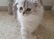 month old persian female kitten for sale 3 قطة انثى شرازية عمرها ثلاث شهور للبيع
