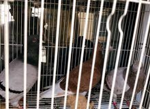 Breeding Homer pigeon two pairs