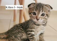 Bengal straight & fold kittens