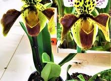 شتلات أركيد بافيوبيديلم/ PAPHIOPIDILUM ORCHID PLANT
