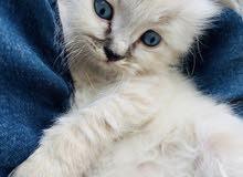 قطه انثى من نوع هملايا
