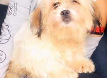 كلب  شيتزو تقليب عالي