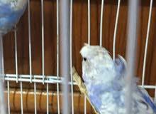 زوج طيور حب هاجرموً شرط التبزير