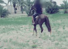 حصان نص دم