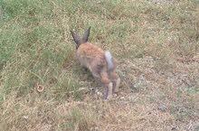 ذكر أرنب عربي جاهز
