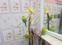طيور  بادجى  للبيع