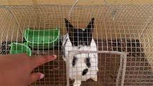 ارنب اليف أنثى مع القفص