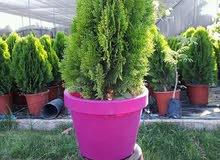 مشتل الزهور يوجد لدينا معشب طبيعي درجه اولى صفي وشتوي سعر المتر المربع 3.5