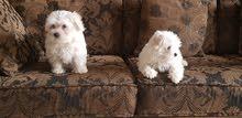 Imported Maltese Dogs    كلاب مالتيز وارد أوكرانيا