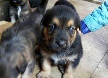 كلاب للبيع جيرمان عمره شهر