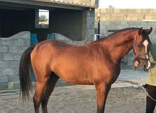حصان واهو عربي اصيل وجميل