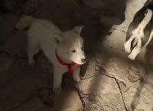 كلب هاسكي ذكر للبدل