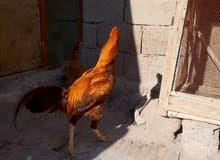 ديج مخلف هندي مع دجاجه هنديه بياضه