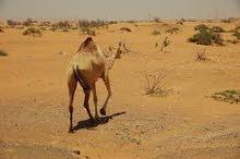 Desert Safari With Buffet Dinner
