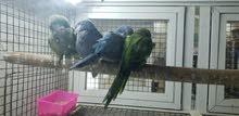 اربع أزواج ببغاء كويكر (اخضر،ازرق)