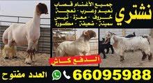 نشتري جميع أنواع الماعز و الأغنام 66095988
