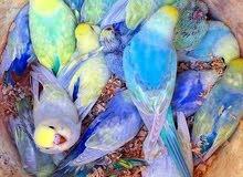 مطلوب ازواج طير الحب رينمبو ...مثل الموجود بالصورة