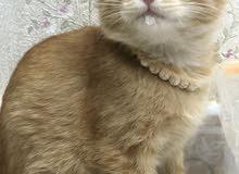 قطط هجين تركي شيرازي بعمر شهرين ونصف