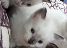 قطط من نوع صيامو غكدول