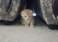 سكوتش فولد ( اولاد القط الفحل بوس )