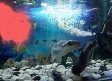 Large Tiger Sharks For Sale