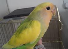 tamed handfed lovebird