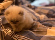 Scottish Fold Himalayan Kitten