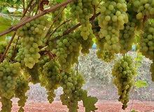 بيع العنب